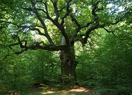 Baum (c) Conrad Amber